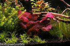 2 Nymphaea ZENKERI Red Tiger Lotus bulb live aquarium plant tropical betta hide