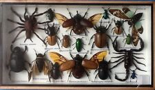 REAL EXOTIC HUGH18 INSECT DISPLAY SPIDER TAXIDERMY ENTOMOLOGY BEETLE INSECTS