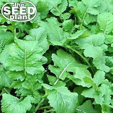 Seven Top Turnip Seeds -  1,000 SEEDS-SAME DAY SHIPPING