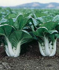 2,000 Pak Choi Seeds White Stem Cabbage Seeds