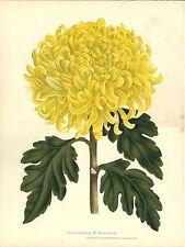 Stampa antica FIORI CRISANTEMO CHRYSANTHEMUM giallo 1880 Old antique print