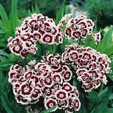Dianthus- Holborn- 200 Seeds - 50 % off sale