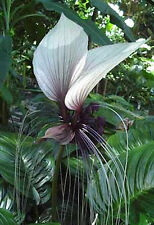 Giant Bat Plant (Tacca integrifolia)  - 10 Fresh Seeds