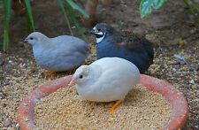 12 Pure Chinese Painted/Button/King Quail Hatching Eggs