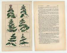 Minze-Mentha-Blumen-Pflanzen - Stahlstich 1840