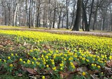 50 WINTER ACONITES Top Quality Freshly Lifted Bulbs, (Eranthis hyemalis)