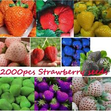 10 Colors Strawberry Giant Potted Yard Plant Fruit Everbearing Four Season Seeds