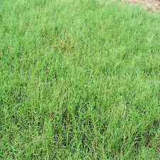 "Giant Bermuda Grass Seeds ""Hulled"" 50 Lbs Bag."