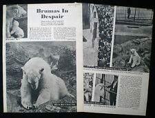 BRUMAS POLAR BEAR REGENT'S PARK ZOO LONDON 2pp PHOTO ARTICLE 1951