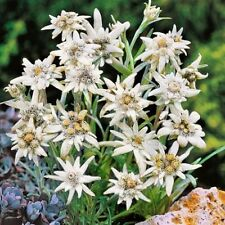 Edelweiss Flower Seeds (Leontopodium Alpinum) 200+Seeds