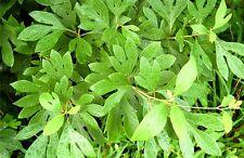 Sassafras Tree -Fragrant-Flower-Live Plant-11/2 YR Old Bare Root-2 pack w Bonus