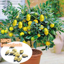 10PCS Rare Lemon Tree Indoor Outdoor Heirloom Edible Fruit Seeds Garden bonsai