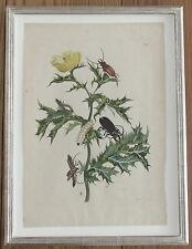 Framed c.1725 print copper plate engraving Surinam insects MARIA SIBYLLA MERIAN