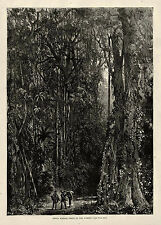 MASSIVE ANCIENT INDIA RUBBER TREE in DENSE FOREST SETTING Latex History 1875