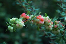 Wilson's Barberry - Berberis Wilsoniae - 25 seeds -  Shrub - Berries - Hedging