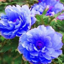 20Pcs Peony Flowers Seeds Chinese Rare Blue Lovely Home Garden Paeonia Plant