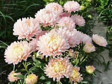 30 DUCHESS APRICOT PAEONY ASTER French Peony Callistephus Flower Seeds *Comb S/H