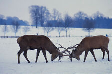 697099 RED DEER Stags bloccaggio corna NOTTINGHAM Inghilterra A4 FOTO STAMPA