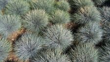 "Festuca Glauca""Blue Fescue"" 3 Ornamental Grass, Rock Garden Plant FREE SHIPPING!"