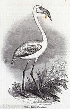 Genuino 1845 impresión Flamingo Ave Wader África América del Sur Caribe flamencos