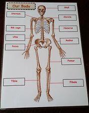 Il nostro corpo-Scheletro + nomi-laminato a4-Display VIGILATRICE d'infanzia CLASSE argomento