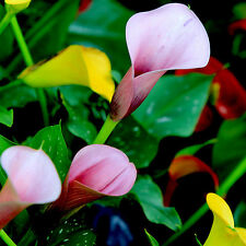 Chic New Popular 100PCS Bonsai Colorful Calla Lily Seeds Rare Plants Flowers Hot