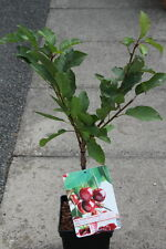 Dwarf Patio Fruiting Cherry Tree- Variety 'Stella'- Approx 75cm Tall