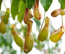 FD1035 Carnivorous Nepenthes Seed Chinese Characteristic Zhulongcai Seed 50pcs:)