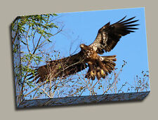 Hawk On Ladies Lake -  Gallery Wrapped Canvas Wildlife Photos by Charlie Bates