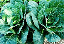 "500+ BULK HEIRLOOM COLLARD SEEDS - COLLARD GREENS - ""GEORGIA SOUTHERN""  NON-GMO"