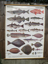 A VINTAGE PULL DOWN SCHOOL CHART OF SEA FISH LIFE SIZE CIRCA 1970