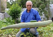 20 GIANT CUCUMBER SEEDS 2017 OVER 5FT LONG POSSIBLE!