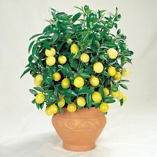 VERNA Lemon Tree 15 SELECTED seeds - citrus limon bonsai tree SOW ALL YEAR