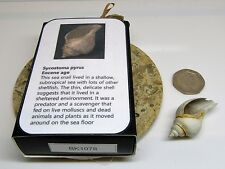 Real fossil sea snail shell & gift box & information card - dinosaur & nature