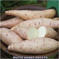 SWEET POTATO WHITE FLESH 4 Stem Cuttings With tiny Roots