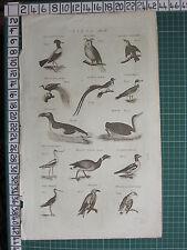 1794 ANTIQUE PRINT ~ BIRDS ~ HORN OWL DIVER PENGUIN BIRD OF PARADISE
