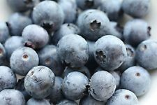 * 50 BLUEBERRY SEEDS * EVERGREEN SHRUB * HIGH TOLERANCE TO HEAT *