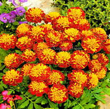 French Marigold Champion Harmony - Tagetes Patula nana - 300 seeds - FLOWER