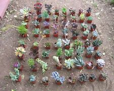 "20 MISC SUCCULENT COLLECTION 20 SPRING ROOTED SPECIMENS IN 2"" POTS AND SOIL"