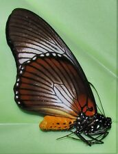 Rare Giant Blue Swallowtail Papilio zalmoxis Male Folded/papered  FAST FROM USA
