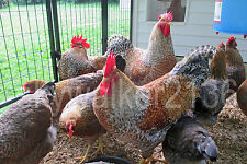 10+ Bielefelder Fertile Hatching Eggs.  Flock is from 2011 & 13 import bloodline