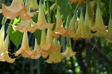 Brugmansia suaveolens Yellow| 20_Seeds FREE SHIPPING TO US