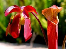 10 Seeds - Sweet Pitcher Plant - Sarracenia rubra