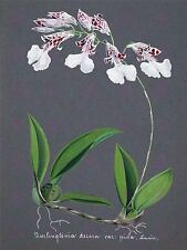 PAINTING BOOK PAGE ORCHID BURLINGTONIA DECORA LARGE ART PRINT POSTER LF1422