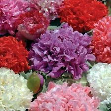 500 Peony Seeds - MIXED - shades of purple, pink, rose, red, and white.