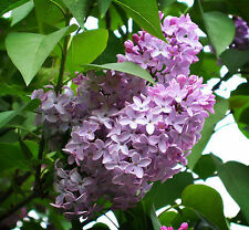 10 Fragrant French Lilac, Syringa vulgaris, Seeds