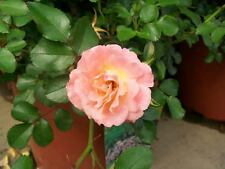 Peach Drift NEW Groundcover Rose 2 Gal. Live Shrub Plants Shrubs Plant Roses NOW