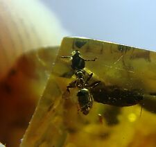 FOSSIL raw baltic amber stone rare genuine ANT insect inclusion (i490