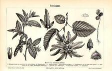 1893 MEYERS KONVERSATIONS-LEXIKON LITHOGRAPH european, or common hornbeam