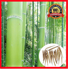 200++ Fresh Moso_Bamboo_Seeds Phyllostachys Pubescens Giant Bamboo !HOT RARE !